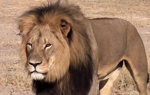 Die Tötung von Afrikas Star-Löwen Cecil bewegt die ganze Welt