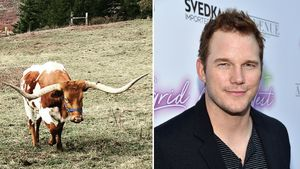 """""""Liebe auf 1. Blick"""": Chris Pratt verliert Herz an Texas-Kuh"""