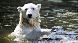 Zehnter Todestag: Berliner Eisbär Knut bleibt unvergessen