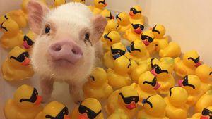 Tierisch süß! Bade-Spaß mit Hank dem Hausschwein
