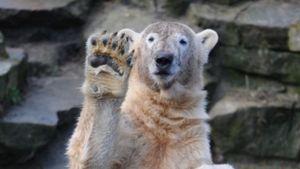 Eisbär Knut wäre heute fünf Jahre alt geworden
