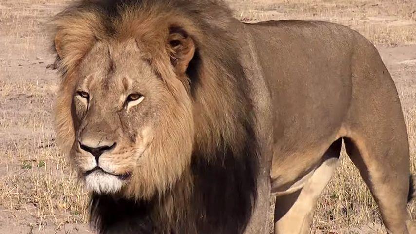 Trauer um Cecil: Promi-Sarkasmus gegen die Wut auf den Jäger