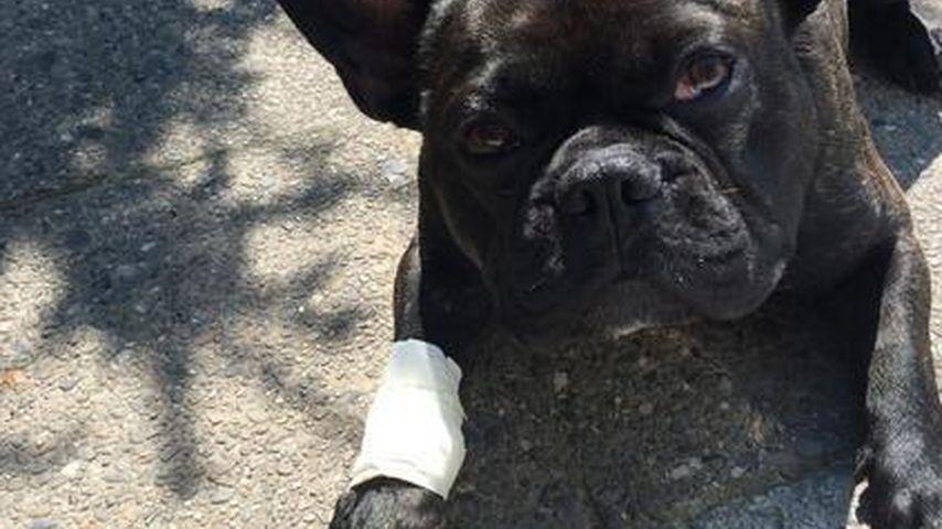 Pfötchen-Verband: Angelina Hegers Hund verletzt