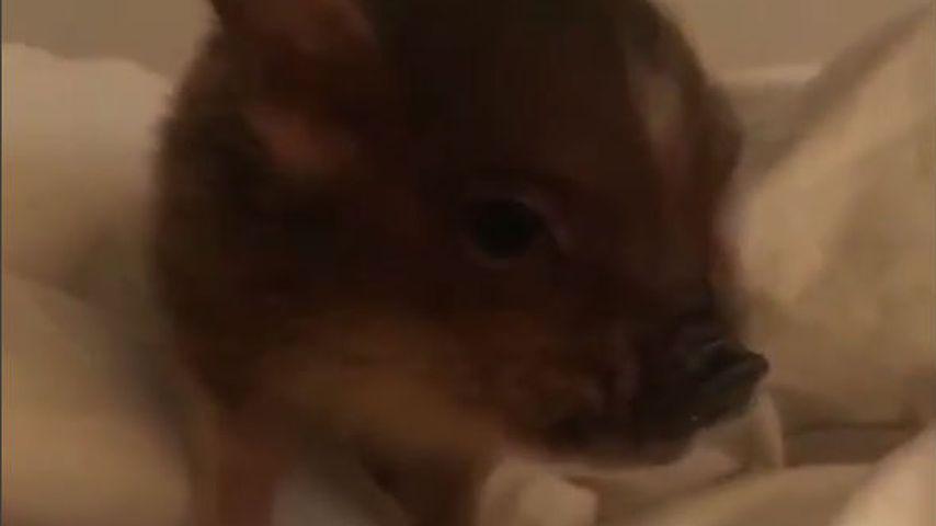 Ariana Grandes Hausschwein