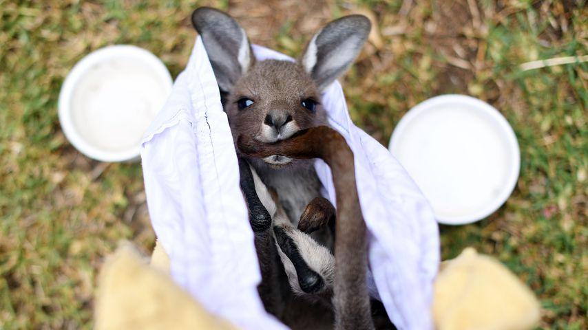 Aus den Buschbränden gerettetes Känguru in Australien