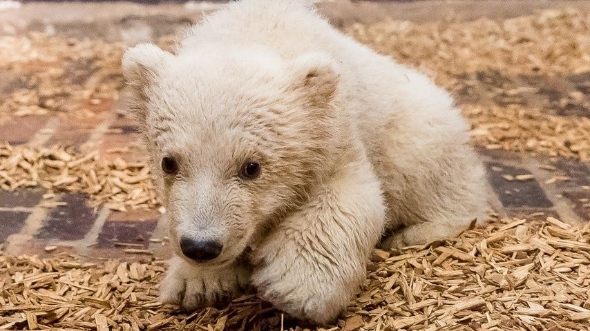 Wie traurig! Berliner Eisbären-Baby Fritz (4 Monate) ist tot