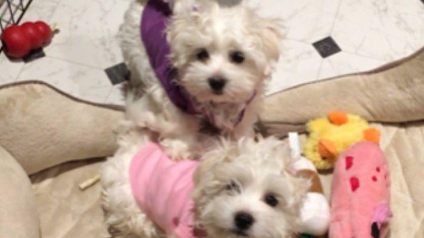 Die geklonten Hunde (in Rosa und Lila) von Barbra Streisand