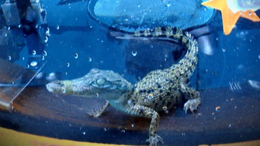 Maulsperre: Eine Qual für Krokodile im Dschungel?