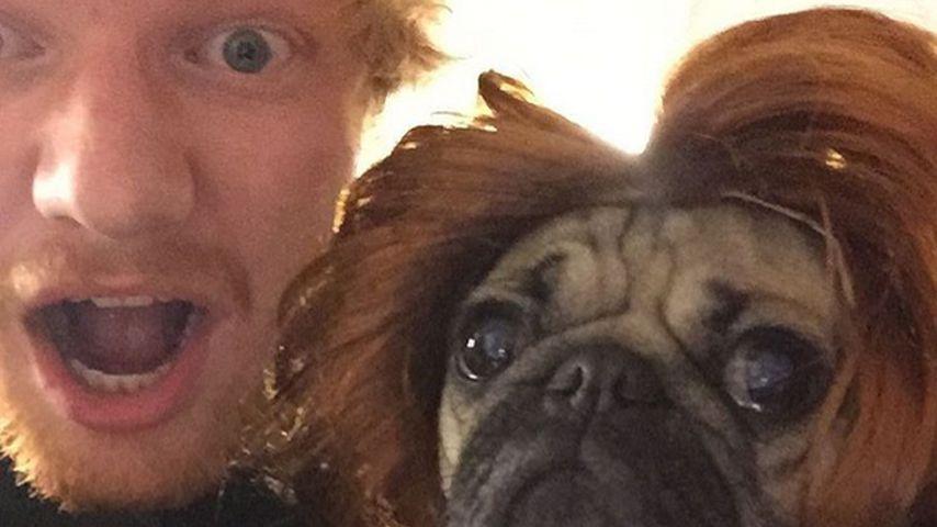 Im Partner-Look: Ed Sheerans Mops trägt rote Mähne