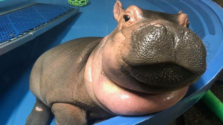 Fiona, the Hippo! Dieses süße Baby-Nilpferd erobert das Netz