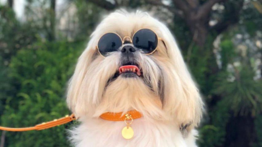 Shih Tzu Bontenmaru, Style-Hund 2020