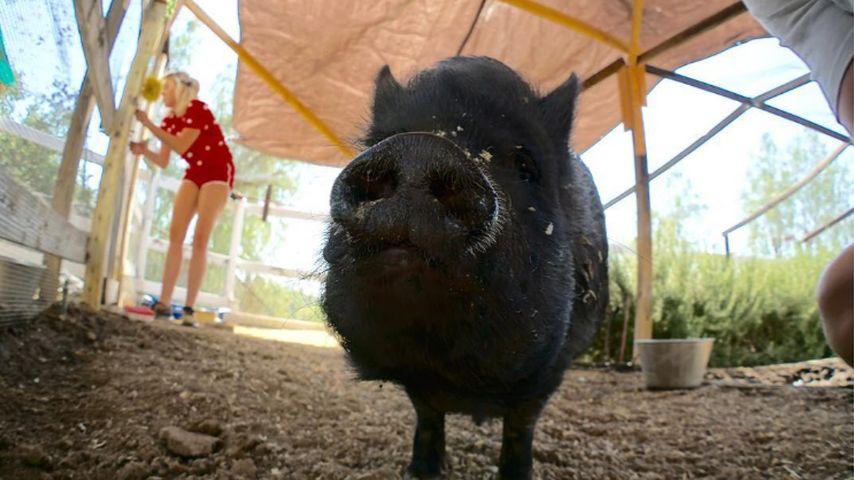 Hausschwein von Miley Cyrus