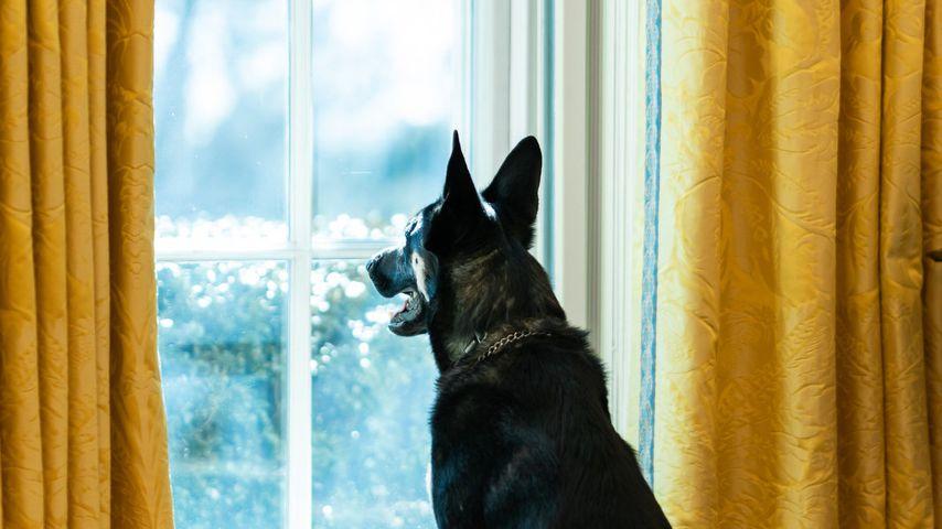 Joe Bidens Hund Major im Oval Office