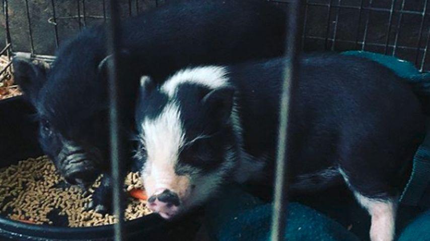 Kaley Cuocos Mini-Schweine im April 2020