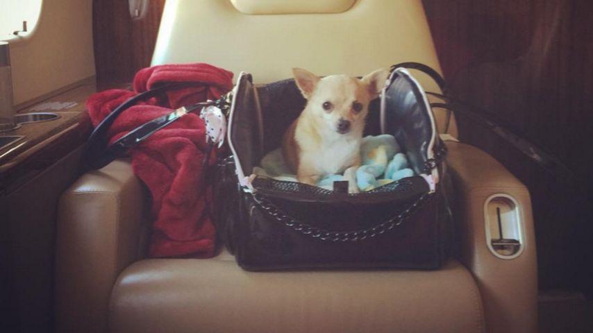 Paris Hilton: Hund Peter Pan fliegt überall mit hin!