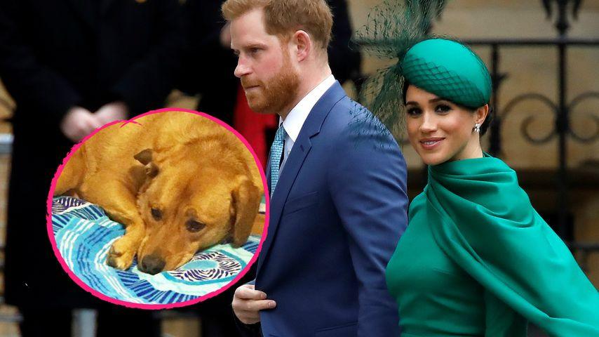 Mag Harry nicht: Deshalb lebt Meghans Hund nicht bei ihr