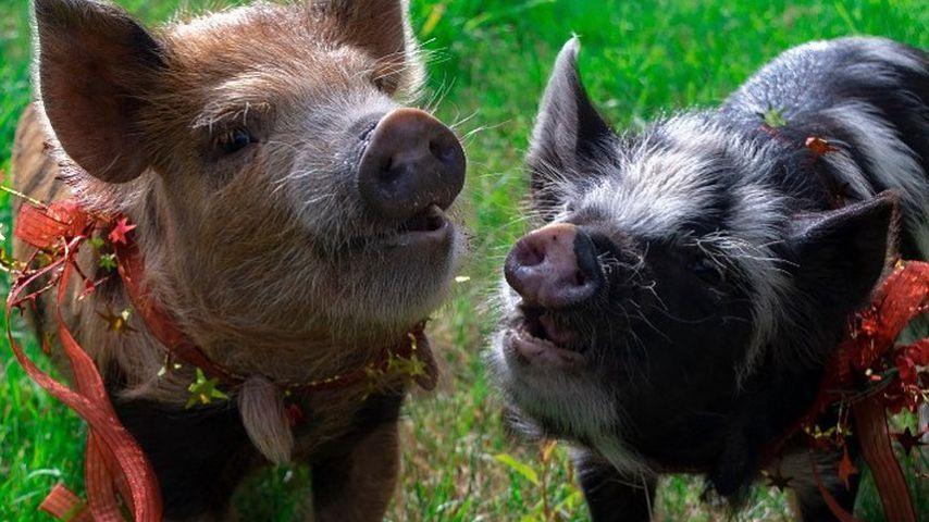 Die zwei Schweinchen, die Katherine Schwarzenegger ihrem Mann Chris Pratt geschenkt hat