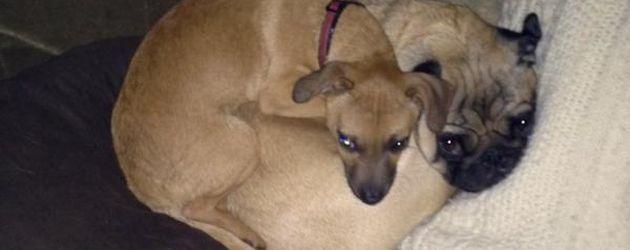 Anna Faris' Chihuahua Pete mit Mops-Kollege Bonzo