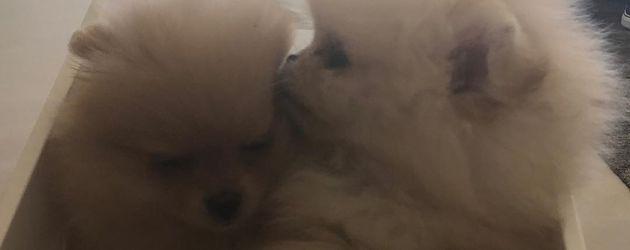 Die Hunde von North West und Penelope Disick